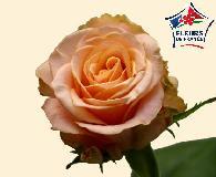 ROSES Invitataion 70 cm