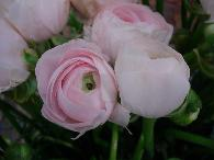 renoncules midi rose