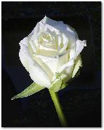 rose blanche 60 cm