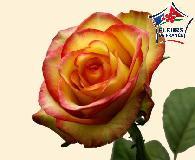 ROSE Brocante 70cm