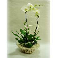 plante phaleonopsis et son panier