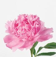 PIVOINE DE CHINE ROSE